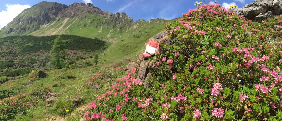 Almrosenblüte am Rettenstein